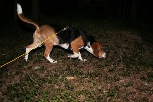 Beagle på ettersøk